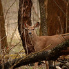 Striking a Cautious Pose! <br /> Cautiously watching my every step, this Whitetail Deer pauses for a moment along the 'Bridgeway Trail' in the the Black River Reservation of the Lorain County Metroparks.  She was part of a herd of 8 or so deer in the woods along the trail.
