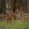 While on a Hike! <br /> A herd of Whitetail Deer along the 'Bridgeway Trail' in the Black River Reservation of the Lorain County Metroparks.  There were about 8 deer in the herd.