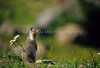 Columbian Ground Squirrels, Glacier National Park, Montana, US