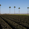 Yuma Farm's Arizona