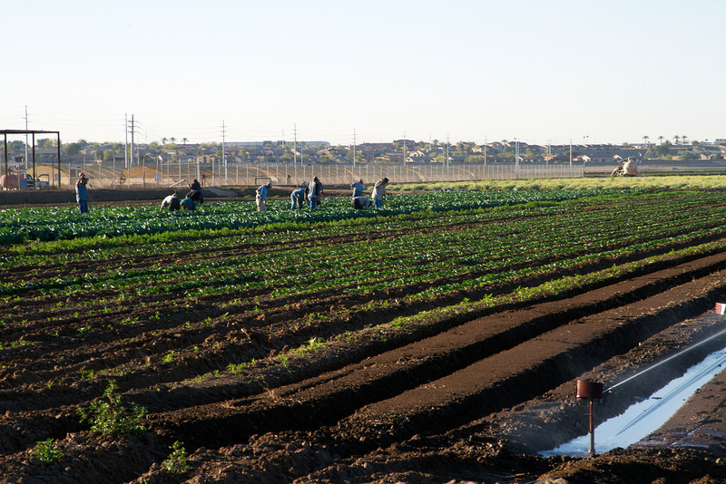 People working on a farm, Yuma Arizona