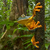 Barred leaf frog (Cruziohyla calcarifer) from Costa Rica
