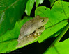 Leaf-brooding rainfrog (<i>Pristimantis educatoris</i>) El Cope, Panama May 2013