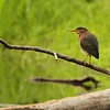 GreenHeron_IMG_1717a_Harrison
