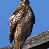 Adult Eastern Red-tailed Hawk.