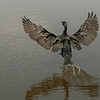 Neotropical Cormorant taking off.