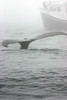 Humpback breeching near Digby Neck Nova Scotia
