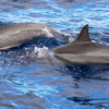 A pair of Spinner dolphins (Stenella longirostris) rocket past the dive boat, breaking the surface just in front of the bow. Spinners and other dolphin species seem to enjoy riding the bow wakes of motor vessels in Ma'alaea Bay. Also known as Gray's or Hawaiian spinner dolphin (S. l. longirostris), from the central Pacific Ocean around Hawaii; may be a mixture of broadly similar delphinid subtypes found worldwide.<br /> Ma'alaea Bay, Maui -- 4 January 2015