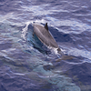 A Spinner dolphin (Stenella longirostris) rockets past the dive boat, breaking the surface just in front of the bow. Spinners and other dolphin species seem to enjoy riding the bow wakes of motor vessels in Ma'alaea Bay. Also known as Gray's or Hawaiian spinner dolphin (S. l. longirostris), from the central Pacific Ocean around Hawaii; may be a mixture of broadly similar delphinid subtypes found worldwide.<br /> Ma'alaea Bay, Maui -- 4 January 2015