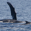 At first glance, I thought the whale nearest to the camera was a calf keeping pace with its mother. But after closely inspecting shots that followed (not shown here), it became clear that it was actually a male suitor getting close enough to the female to induce her to engage in some tummy rubbing. Her upraised pectoral fin may indicate she was amenable. <br /> 22 February 2015