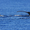 An escorting male approaches an apparently sexually-receptive female rolled onto her side and waving her pectoral fin. Could this be a prelude to whale love? Scientists wish they knew.  <br /> Ma'alaea Bay, Maui – 17 January 2015