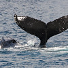 A young Humpback whale calf swimming VERY close to its mother (her head is just to the left of junior's dorsal fin) raises its flukes as if in a parting salute as Mom escorts it away from my boat.<br /> <br /> 22 February 2014