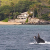Those of us fortunate to live along Ma'alaea Bay's extensive shoreline are often treated to the sight and sound of breaching baby whales, night or day.<br /> 15 March 2014