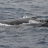 A young Humpback whale calf being escorted by its very attentive mother. Moments earlier, Mom gave the 60-foot-long INTRIGUE at none-too-gentle nudge when she reckoned we had come a bit too close to Junior. The sensation was like that of striking a reef! <br /> 8 March 2014