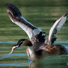 Great Crested Grebe | Haubentaucher