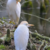 Cattle egret in spring