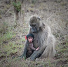 Mother and Baby Baboon at Kruger National Park in South Africa