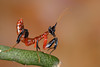 Orchid Mantis (Hymenopus coronatus), L1 nymph