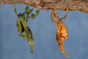 Ghost Mantis (Phyllocrania paradoxa), Female (green) and Male (tan)