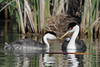 Western Grebe (Aechmophorus occidentalis)