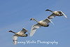 Trumpeter Swan family in flight (one adult with two cygnets are shown in this photo)