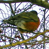 Robin in Hawthorne Tree in Winter