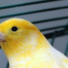 Peter the Canary