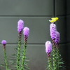 Male and Female Goldfinches on Liatris