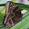 Blue Morpho Butterfly with Wings Closed