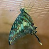 Turquoise and Gray Swallowtail Butterfly