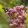 Silver-spotted Skipper and Bee on Joe Pyeweed Flowers