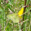 Green Cabbage Butterfly