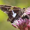 Silver-spotted Skipper and Bee Share a Joe Pyeweed Flower