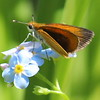 Skipper Butterfly on a Blue Wildflower