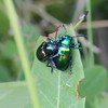 Iridescent Beetles Paairing