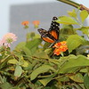 Orange and Black Longwing, Butterfly with White Spots