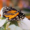 Longwing Butterfly Resting