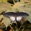 Black and Gray Swallowtail Butterfly
