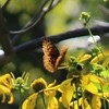 Great Spangled Fritillary Butterly on Cone Flowers