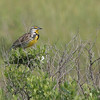 Eastern Meadowlark  Spotted at Galveston Island State Park.