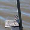 Tree Swallow Web