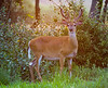 whitetail deer, buck in velvet