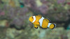 Clown Anemonefish-6