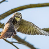 Great Horned Owl Overhead