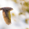 Owl Flight in Light