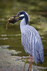 Yellow_Crowned_Night_Heron_crab-4