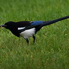 Black-billed Magpie, Lonesome Duck Ranch, Chiloquin, OR