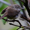 House Wren, Lonesome Duck Ranch, Chiloquin, OR
