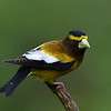 Evening Grosbeak, male, Lonesome Duck Ranch, Chiloquin, OR