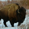 Bison, Yellowstone National Park.
